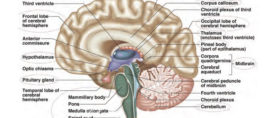 Importance of Language Acquisition and the Functions of Brain in Education